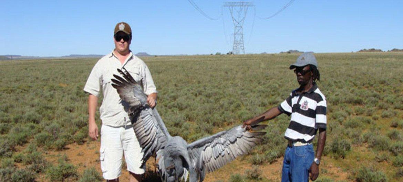 Dead blue crane – victim of a fatal power line collision