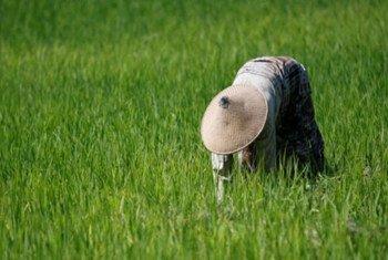 Rice harvest in Timor-Leste