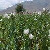 罂粟种植场。