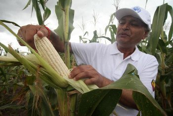 FAO has assisted Mozambique in stepping up quality seed production to increase crop yields