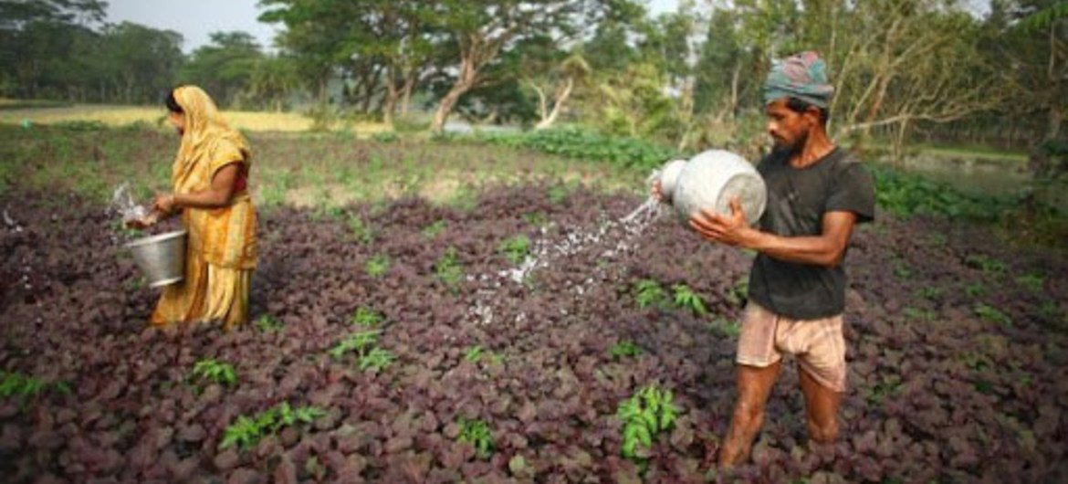 Farmers water spinach in their vegetable garden.