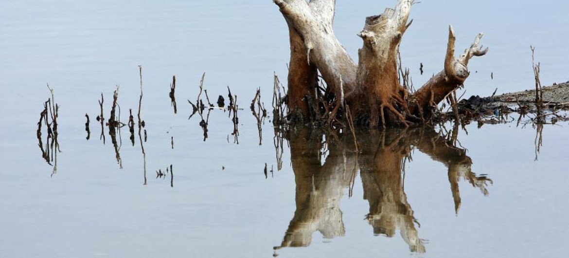 The reflection of a tree in the wetlands of Tasitolu lake, Timor-Leste.