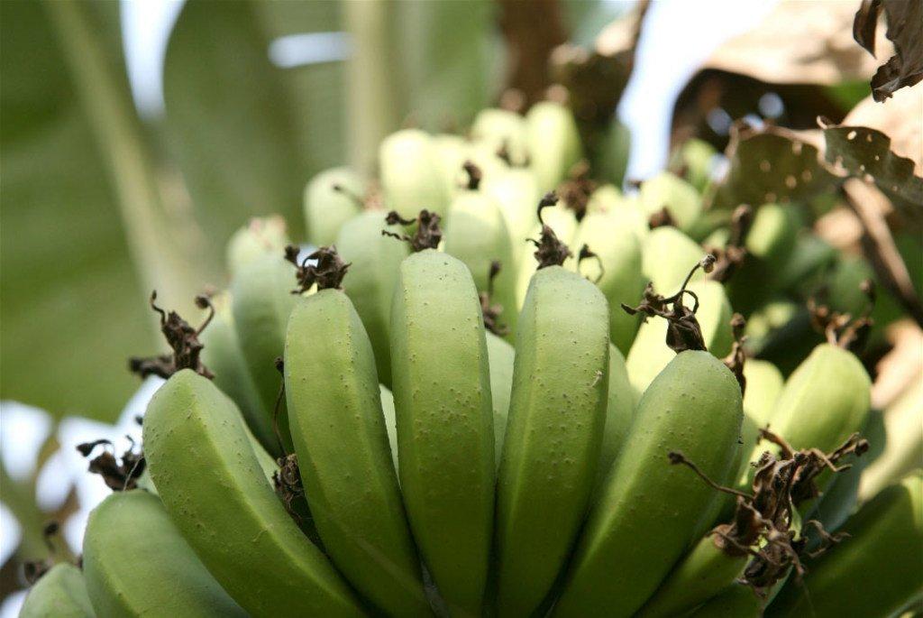 La banane, source essentielle de nourriture, de revenus pour les ménages et de recettes au niveau des exportations.