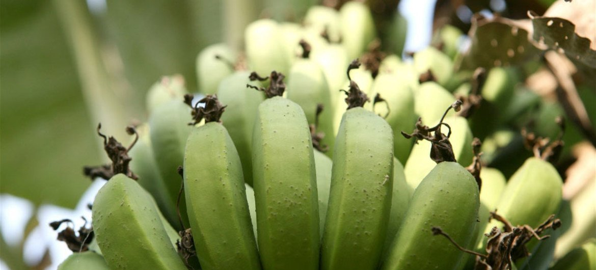 Banana, an essential source of food, income for households and export earnings.