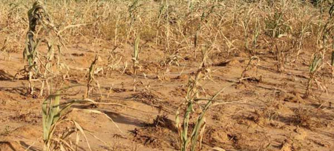 A field of withered crops in Mali's Kayes region.