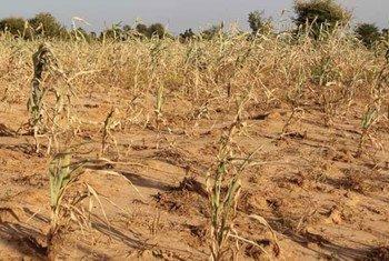 Un champ dans la région des Kayes, au Mali. Photo PAM/Daouda Guirou