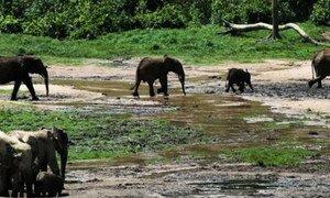 Presque 450 éléphants auraient été tués dans le parc national de Bouba Ndjida au nord du Cameroun.