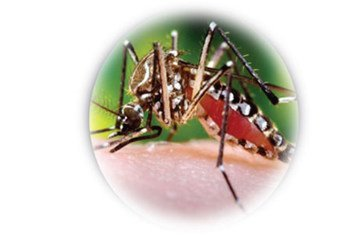 The chikungunya virus is a mosquito-borne disease which has already infected more than two million people around the world.