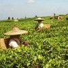 Cultivo de té  Foto: FAO