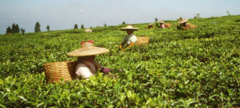 Women picking tea.