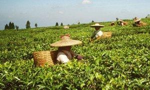 Des femmes récoltent du thé.