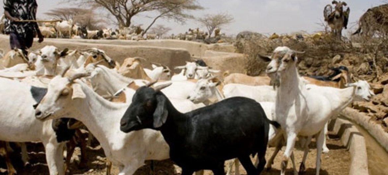 FAO : une maladie virulente du bétail fait des ravages en RDC ...