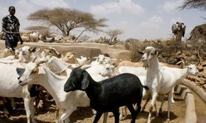 Peste des Petits Ruminants (PPR) pose a huge threat to the livelihood of small farmers and herders.