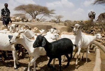 Chèvres et moutons sont d'une importance vitale pour assurer la subsistance des petits éleveurs et gardiens de troupeaux. La Peste des Petits Ruminants (PPR) menace la RDC et plusieurs pays voisins. Photo FAO/G. Napolitano