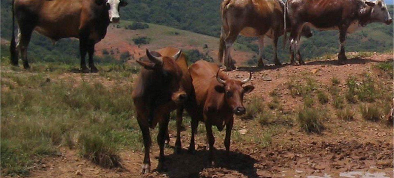 Un troupeau de bovins en train de paître au Swaziland.