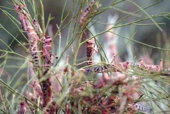 Desert locusts eating vegetation.