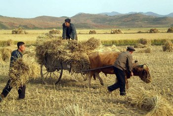 Farmers harvest their crops in the Democratic People's Republic of Korea.
