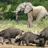 Un éléphant en République démocratique du Congo (RDC).