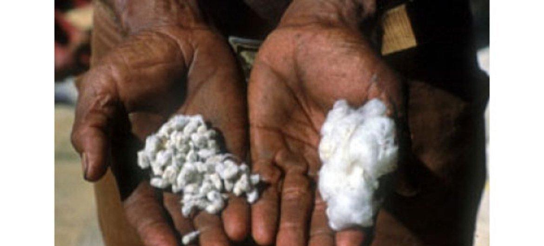 После сбора хлопка, волокна отделяют от семян и только потом отправляют на прядильные фабрики.