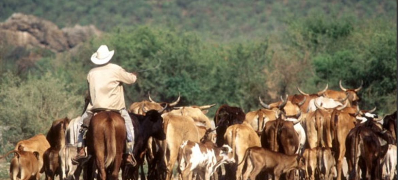 Bétail, bovins et vaches.