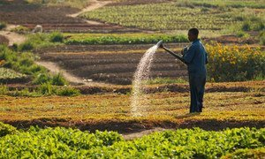A man watering a vegetable crop in Lubumbashi, Democratic Republic of the Congo.