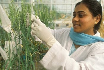 A scientist at a greenhouse of the Indian Agricultural Research Institute, New Delhi, doing research on a particular variety of wheat.