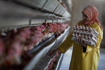Une ouvrière ramasse des oeufs dans un élevage de volailles, en dehors du Caire, en Egypte.