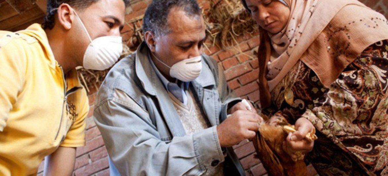 Des éleveurs de poulet dépistent le virus de la grippe aviaire.