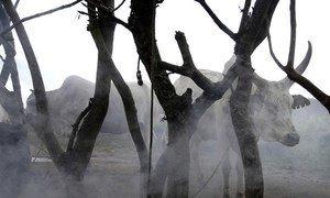 Du bétail dans l'Etat de Jonglei, au Soudan du Sud (archives). Photo ONU/Tim McKulka.