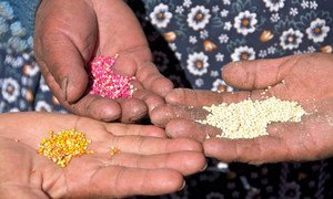Quinoa farmed on the Bolivian antiplano ranges in colour from white to pink to orange.