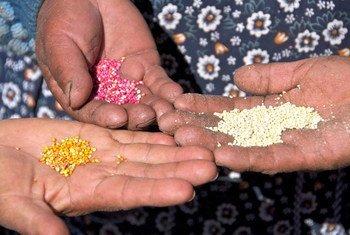 Productoras de quinua muestran diferentes tipo de grano. Foto: FAO