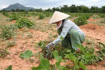 Un agriculteur dans son champ de Jatropha qui sert à la production de biocarburant pour les moteurs diesel.