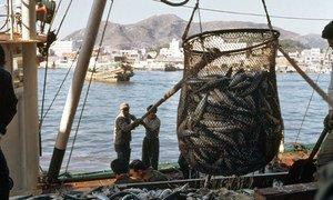 Des pêcheurs déchargent des maquereaux à un marché aux poissons. Photo ONU/M Guthrie