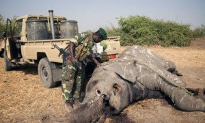 A relatively fresh carcass being turned over to look for bullet wounds on the underside at Zakouma National Park, Chad.