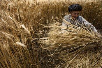 Un agriculteur récolte ses épis de blé au Bamyan, en Afghanistan.