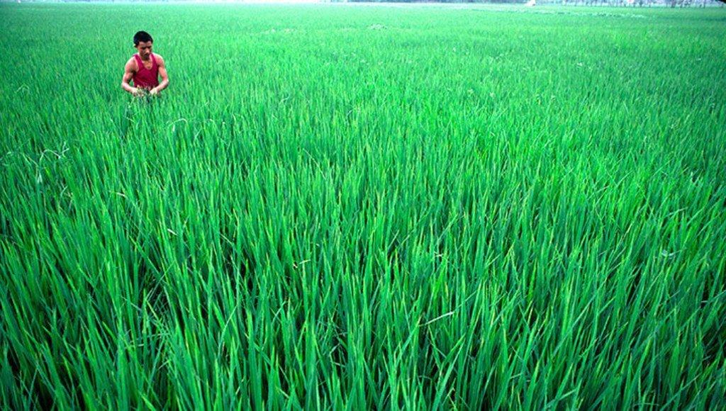Des champs de riz à Sichuan, en Chine. ONU/John Isaac