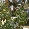 марихуана, каннабис, гянджа, конопля