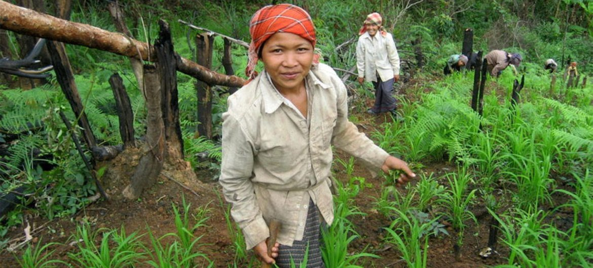Upland women weed their rice fields, an integrated method of agro-forestry in Mokpon Village, Laos.