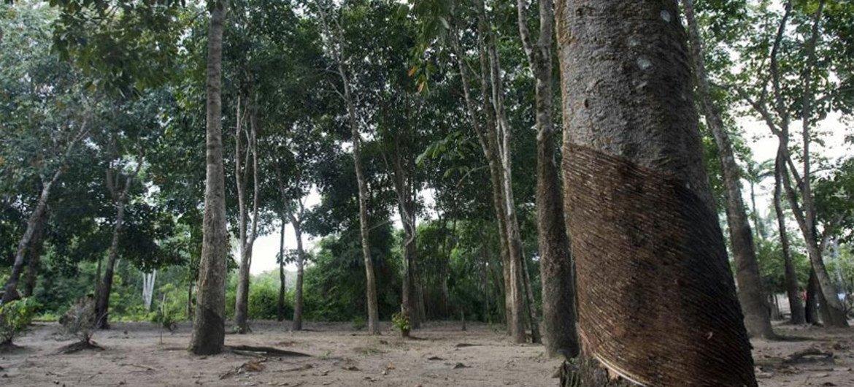 Bosque Nacional Tapajos, Brasil. Foto: ONU/Eskinder Debebe