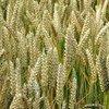 La cosecha de trigo será alta en Sudamérica en 2015. Foto de archivo: IRIN/David Gough