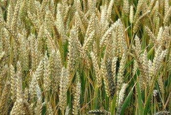 Du blé. Photo IRIN/David Gough