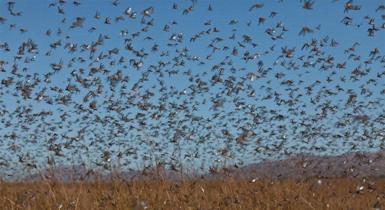 Locusts swarms can be hundreds of miles long, leaving little vegetation behind. Photo: FAO/Yasuyoshi Chiba