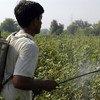 Casi 100 millones de niños en todo el mundo trabajan en la agricultura, según la OIT. Foto: FAO/Asim Hafeez