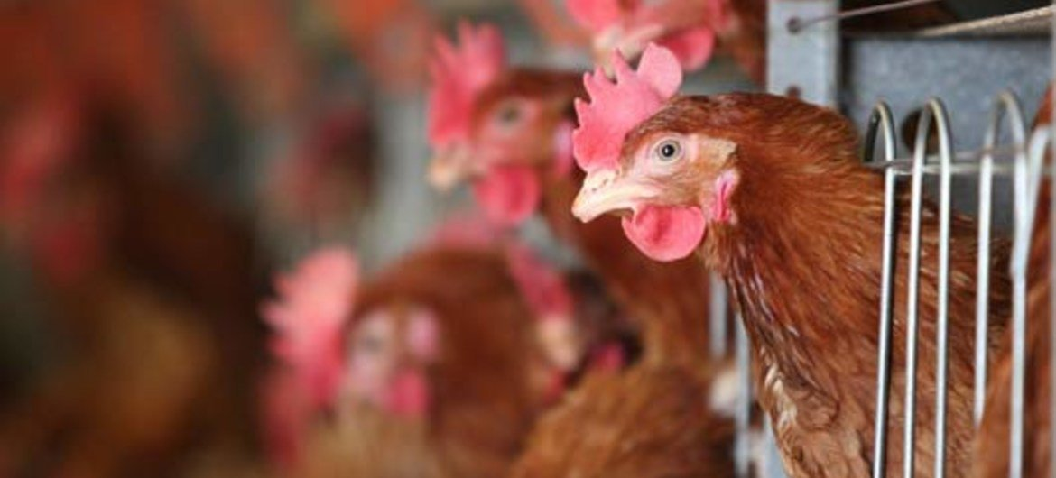 Bird flu viruses continue to circulate in poultry.