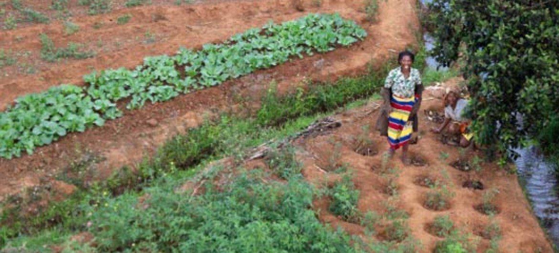 Les petites exploitations agricoles à Madagascar sont durement frappées par les conditions météorologiques et l'invasion de criquets. Photo FAO/Yasuyoshi Chiba