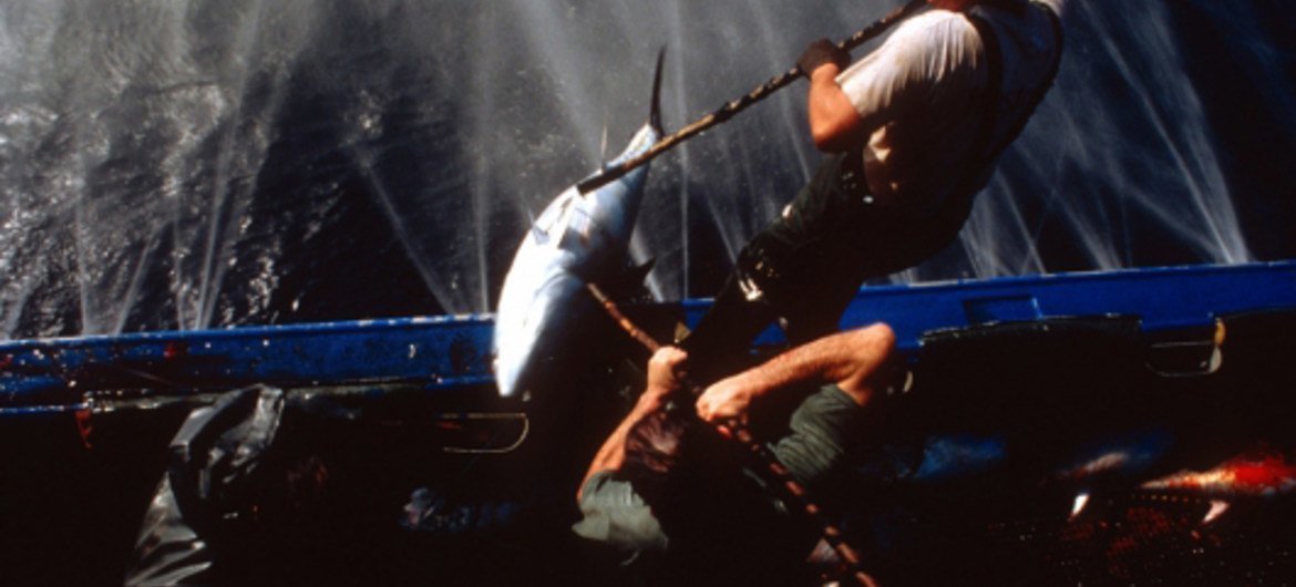 FAO estimates that about one third of the world's seven major tuna species are currently overexploited.