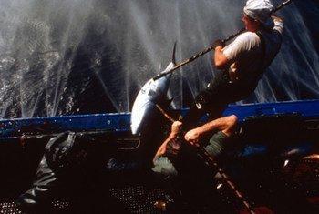 La FAO estime qu'un tiers des sept principales espèces de thon au monde est l'objet d'une surpêche.