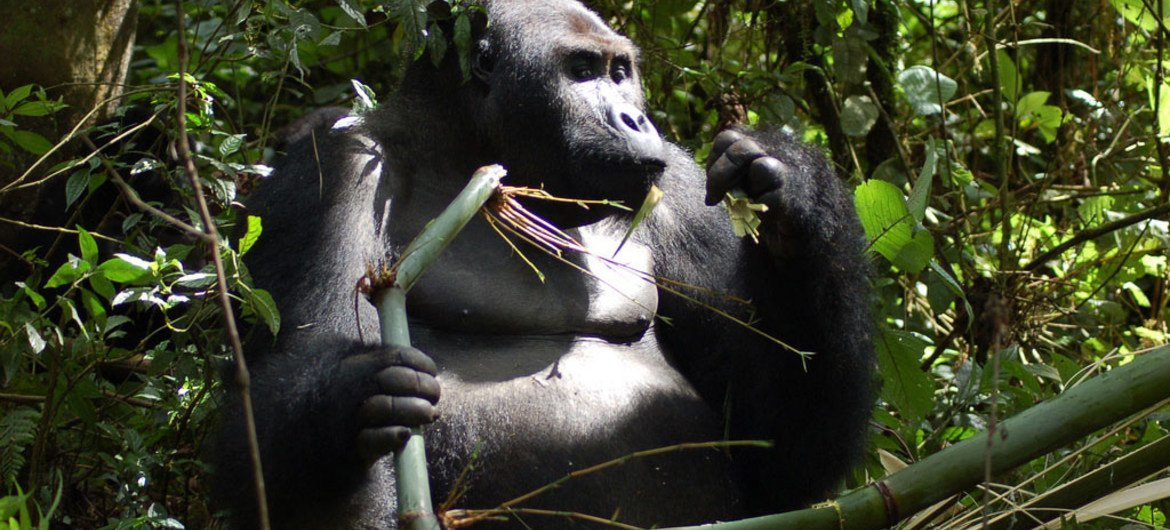 FEATURE: UN works to protect great apes, habitat, amid