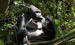 Gorillas have becomes an endangered species. In recent decades gorilla populations have been affected by habitat loss, disease and poaching as is the case in the DRC.