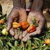 Cultivos de pimientos que se han logrado adaptar al cambio climático en Nigeria.